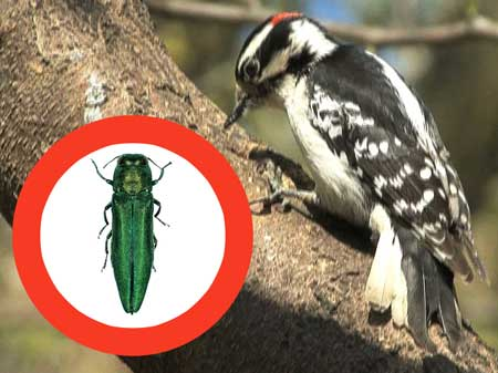 A new natural predator for Emerald Ash Borer.