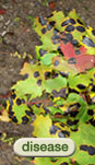 Tree & Shrub Disease Index